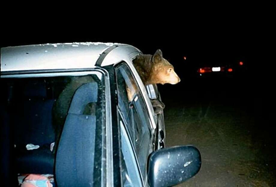 Bear in Mini-Van at Yosemite National Park. Photo: Courtesy Yosemite National Park