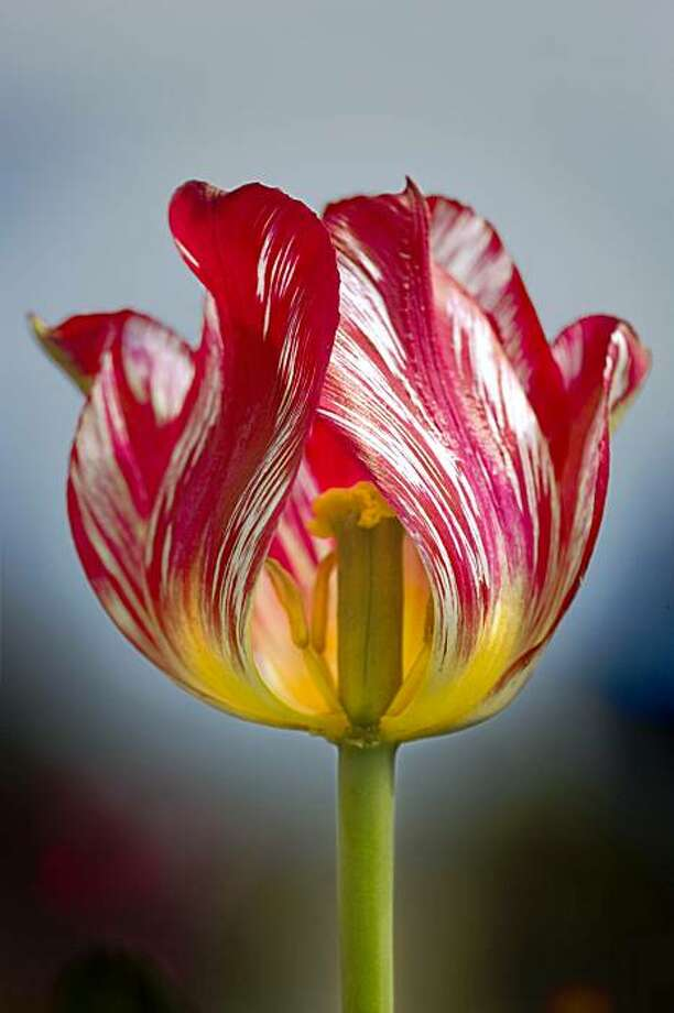 "Rembrandt tulip from ""Botany of Desire"" Photo: Ruth Dundas"