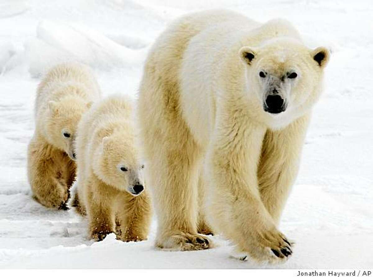 **FILE**In this Nov. 7, 2007 file photo, a polar bear mother and her two cubs walk along the shore of Hudson Bay in Manitoba near Churchill, Canada. The U.S. Interior Department declared the polar bear a threatened species Wednesday, May 14, 2008, saying it must be protected because of the decline in Arctic sea ice from global warming. (AP Photo/THE CANADIAN PRESS/Jonathan Hayward, File)