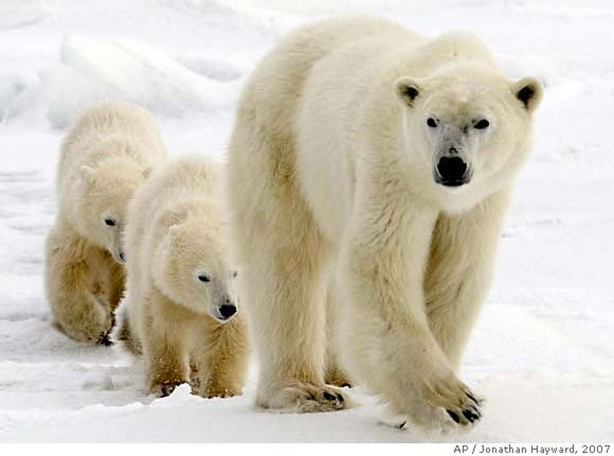 ###Live Caption:**FILE**In this Nov. 7, 2007 file photo, a polar bear mother and her two cubs walk along the shore of Hudson Bay in Manitoba near Churchill, Canada. The U.S. Interior Department declared the polar bear a threatened species Wednesday, May 14, 2008, saying it must be protected because of the decline in Arctic sea ice from global warming. (AP Photo/THE CANADIAN PRESS/Jonathan Hayward, File)###Caption History:**FILE**In this Nov. 7, 2007 file photo, a polar bear mother and her two cubs walk along the shore of Hudson Bay in Manitoba near Churchill, Canada. The U.S. Interior Department declared the polar bear a threatened species Wednesday, May 14, 2008, saying it must be protected because of the decline in Arctic sea ice from global warming. (AP Photo/THE CANADIAN PRESS/Jonathan Hayward, File)###Notes:###Special Instructions:NOV. 7, 2007 FILE PHOTO