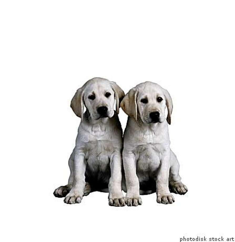 Shoppers are scrimping on holiday gifts, but not when it comes to their pets.golden retriever puppiesOS18104 Photo: Photodisk Stock Art