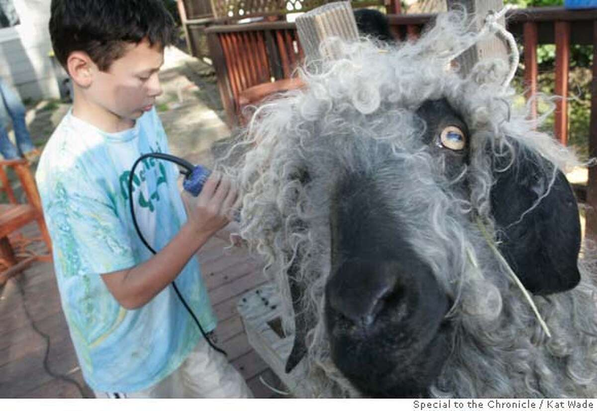 """Montclair 4H member, Sam Schwartz, 9, takes his turn shearing their Angora goat, """"Comet"""" at the Schwartz' home in Oakland, Calif. on Tuesday, March 25, 2008. Photo by Kat Wade / Special to the Chronicle"""