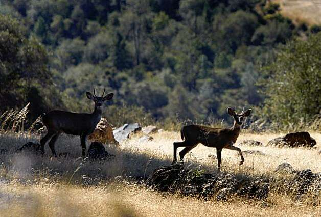 Two deer wander through the Excelsior property above the banks of the Yuba River in Smartsville, Calif., on Thursday, Oct. 1, 2009. The Trust for Public Land is acquiring several hundred acres of private land and will eventually transfer it to public open space. Photo: Paul Chinn, The Chronicle