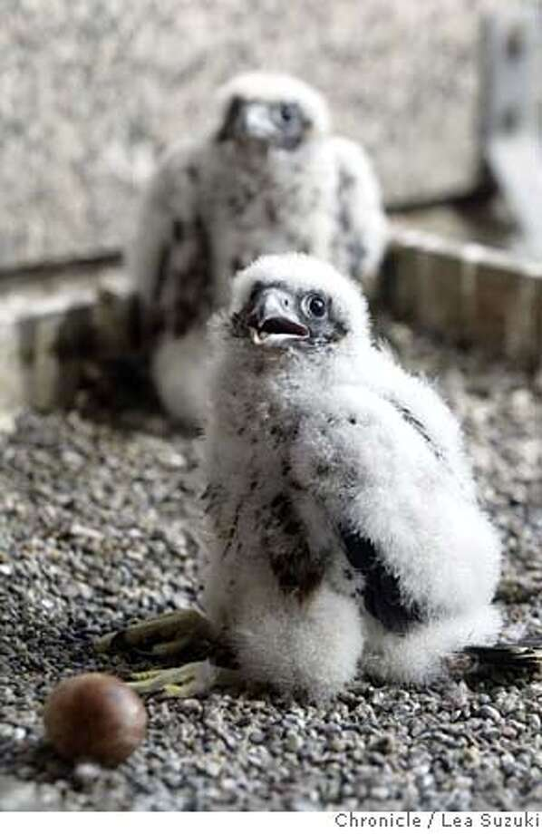 ###Live Caption:The nestlings and one of two eggs in the nest. Some scientists from the UC Santa Cruz Predatory Bird Research Group will be banding peregrine falcon nestlings at the PG&E skyscraper at 77 Beale, corner of Beale and Market, SF. Peregrines, once on the brink of extinction, are coming back well, and thriving particularly in cities, where there are plenty of scurvy pigeons to eat, and lots of building ledges to nest on--they like skyscrapers, since they resemble the cliffs they nest on in the wild. We anticipate the ma and pa peregrines are going to dive bomb the crap out of the scientists as they band the young###Caption History:falcons_020_ls.jpg  The nestlings and one of two eggs in the nest. Some scientists from the UC Santa Cruz Predatory Bird Research Group will be banding peregrine falcon nestlings at the PG&E skyscraper at 77 Beale, corner of Beale and Market, SF. Peregrines, once on the brink of extinction, are coming back well, and thriving particularly in cities, where there are plenty of scurvy pigeons to eat, and lots of building ledges to nest on--they like skyscrapers, since they resemble the cliffs they nest on in the wild. We anticipate the ma and pa peregrines are going to dive bomb the crap out of the scientists as they band the young  Photo taken on 05/10/04, in San Francisco, CA.  Photo By LEA SUZUKI / The San Francisco Chronicle  Ran on: 03-28-2007  Peregrine falcons George and Gracie have left eggs in a precarious aerie under the Bay Bridge.  Ran on: 03-28-2007  Peregrine falcons George and Gracie have left eggs in a precarious aerie under the Bay Bridge.###Notes:###Special Instructions:MANDATORY CREDIT FOR PHOTOG AND SF CHRONICLE/NO SALES-MAGS OUT Photo: LEA SUZUKI