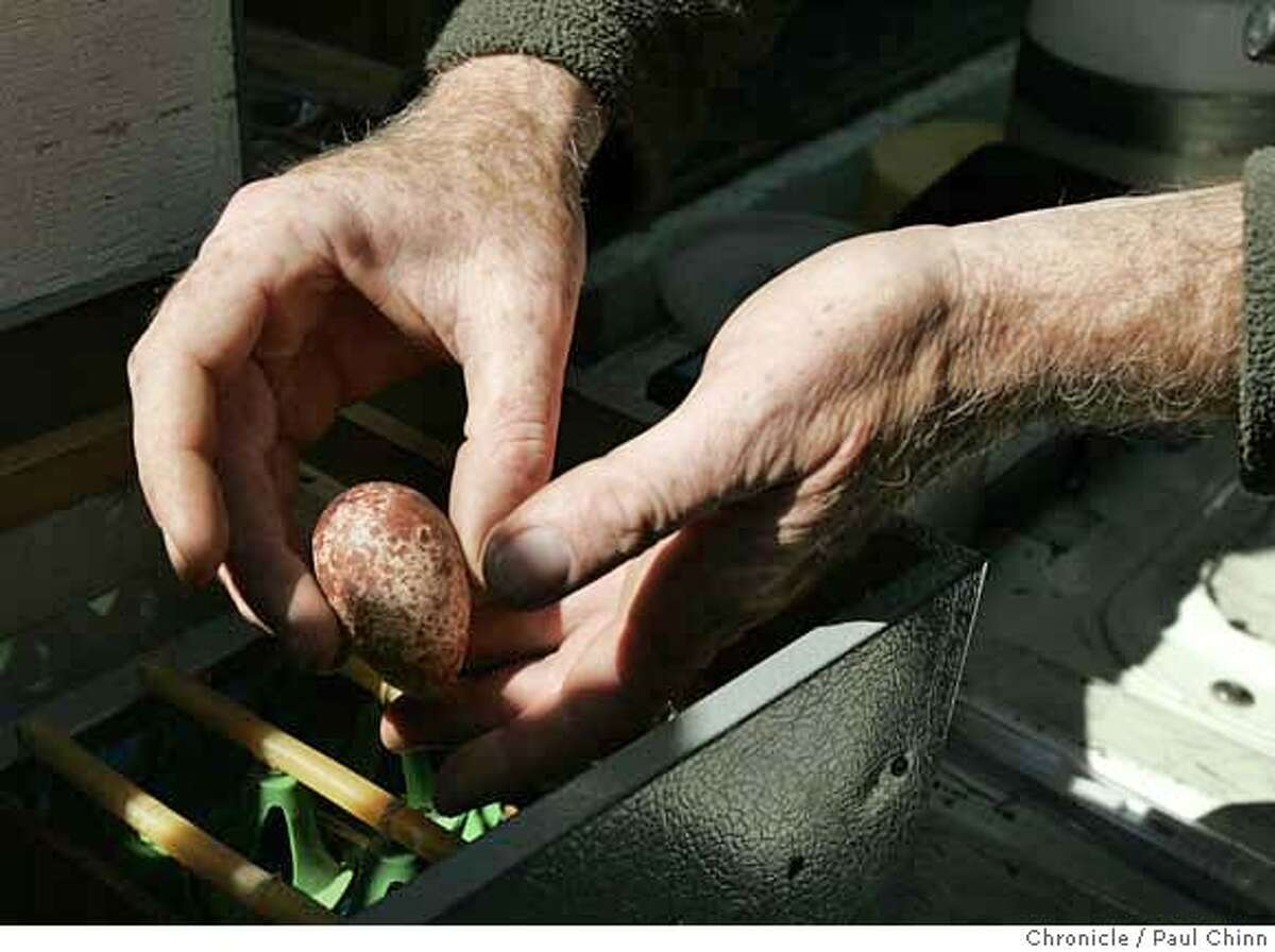 """###Live Caption:Brian Latta carefully places an egg into an incubator where it will be hatched by biologists from the Santa Cruz Predatory Bird Research Group. Latta climbed below the lower deck of the Bay Bridge to retrieve three eggs from two peregrine falcons named George and Gracie in San Francisco, Calif. on Friday, March 30, 2007. Two of the eggs were found to be viable; the third egg was apparently not """"alive"""".###Caption History:Brian Latta carefully places an egg into an incubator where it will be hatched by biologists from the Santa Cruz Predatory Bird Research Group. Latta climbed below the lower deck of the Bay Bridge to retrieve three eggs from two peregrine falcons named George and Gracie in San Francisco, Calif. on Friday, March 30, 2007. Two of the eggs were found to be viable; the third egg was apparently not """"alive"""". PAUL CHINN/The Chronicle **Brian Latta Ran on: 03-31-2007 George the peregrine falcon soars as scientists remove the eggs from the nest high on the Bay Bridge. Ran on: 03-31-2007 George the peregrine falcon soars as scientists remove the eggs from the nest high on the Bay Bridge.###Notes:###Special Instructions:MANDATORY CREDIT FOR PHOTOGRAPHER AND S.F. CHRONICLE/NO SALES - MAGS OUT"""