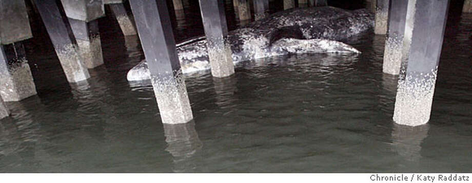 A dead whale floats under Pier 27 in San Francisco, Calif. on Thursday May 8, 2008.  Katy Raddatz / The San Francisco Chronicle  Ran on: 05-09-2008  The body of a dead whale was discovered Thursday lodged beneath Pier 27 along the San Francisco waterfront, the Coast Guard said. It appeared to be a young gray whale, about 25 feet long, said a spokesman from the Marine Mammal Center. The carcass, tightly wedged among pilings, was not believed to be a hazard to bay traffic, Coast Guard spokeswoman Lauren Kolumbic said.  Ran on: 05-09-2008 Ran on: 05-09-2008 Ran on: 05-09-2008 Ran on: 05-09-2008 Photo: KATY RADDATZ