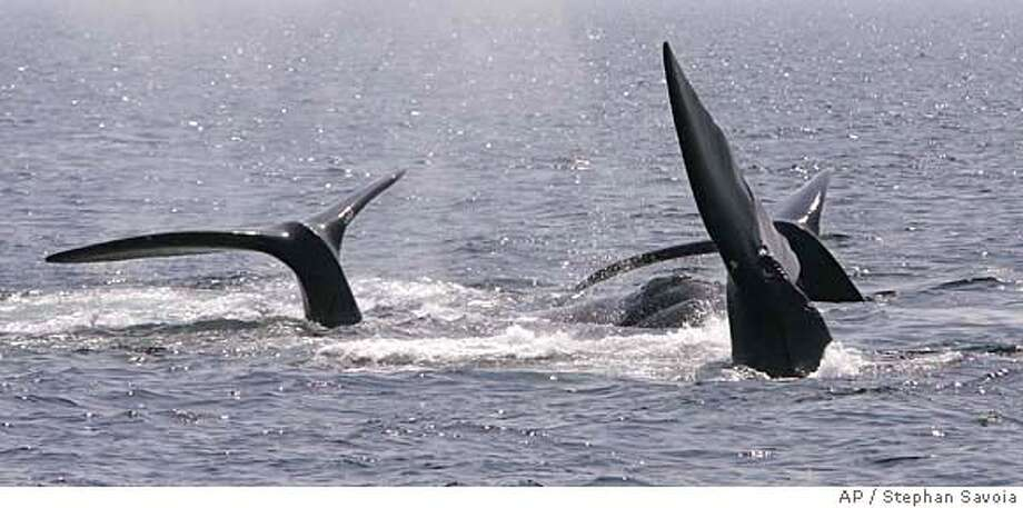 ###Live Caption:A ballet of three right whale tails are all that is visible of this surface active group (SAG) in Cape Cod Bay near Provincetown, Mass., Thursday afternoon, April 10, 2008. (AP Photo/Stephan Savoia)###Caption History:A ballet of three right whale tails are all that is visible of this surface active group (SAG) in Cape Cod Bay near Provincetown, Mass., Thursday afternoon, April 10, 2008. (AP Photo/Stephan Savoia)###Notes:###Special Instructions: Photo: Stephan Savoia