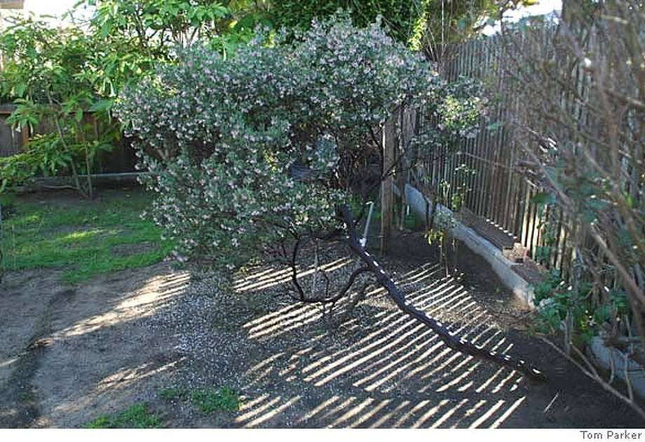 ###Live Caption:The mysterious and as yet unidentified Manzanita found growing in a San Francisco backyard.###Caption History:The mysterious and as yet unidentified Manzanita found growing in a San Francisco backyard.###Notes:###Special Instructions: Photo: Tom Parker