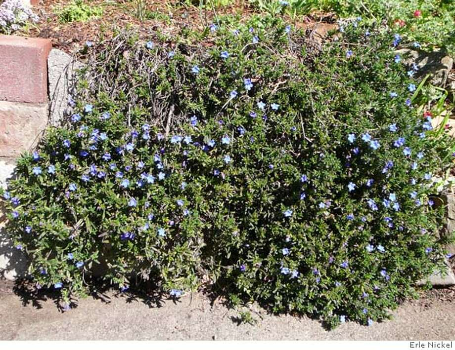 ###Live Caption:Lithodora diffusa###Caption History:Lithodora diffusa###Notes:###Special Instructions: Photo: Erle Nickel