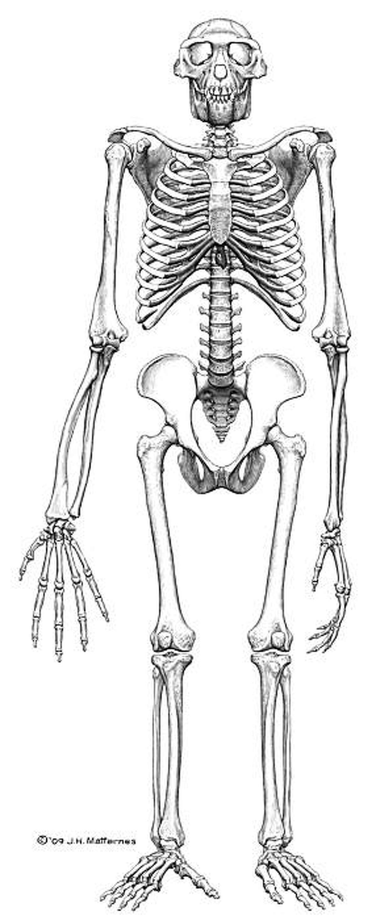 """This image provided by the journal Science shows the reconstructed frontal view of the skeleton """"Ardi."""" The story of humankind is reaching back another million years with the discovery of """"Ardi,"""" a hominid who lived in what is now Ethiopia 4.4 million years ago. (AP Photo/Science, J.H. Matternes)"""