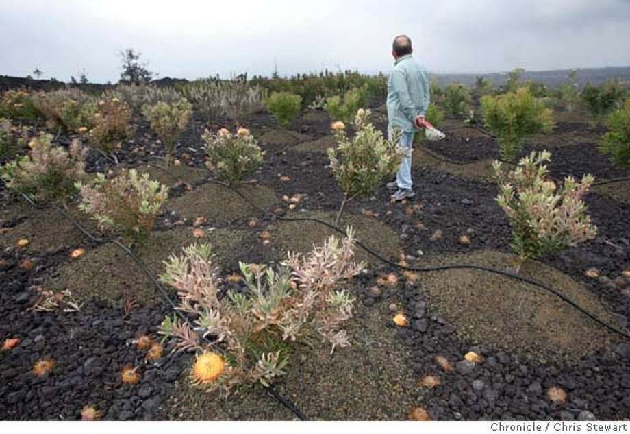 ###Live Caption:Bob Armstrong strains for a vog-diminished view of the coast while inspecting damage to his protea flower crop Wednesday, April 30, 2008 in Ocean View on the Big Island of Hawaii. Big Island crops are shriveling as sulfur dioxide from Kilauea wafts over them. People are wheezing and students are taking recess indoors. High gas levels even forced Hawaii Volcanoes National Park to close several days this month, causing evacuation of thousands of visitors. Residents of this volcanic island are used to toxic gas. But the new developments are forcing some farmers to think about growing different crops and some residents to worry about their health. (AP Photo/Chris Stewart)###Caption History:Bob Armstrong strains for a vog-diminished view of the coast while inspecting damage to his protea flower crop Wednesday, April 30, 2008 in Ocean View on the Big Island of Hawaii. Big Island crops are shriveling as sulfur dioxide from Kilauea wafts over them. People are wheezing and students are taking recess indoors. High gas levels even forced Hawaii Volcanoes National Park to close several days this month, causing evacuation of thousands of visitors. Residents of this volcanic island are used to toxic gas. But the new developments are forcing some farmers to think about growing different crops and some residents to worry about their health. (AP Photo/Chris Stewart)###Notes:Bob Armstrong###Special Instructions: Photo: Chris Stewart