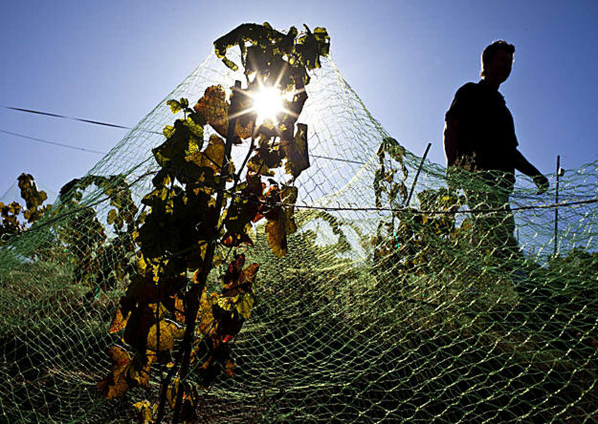 Hank Beckmeyer walks through his unharvested vineyard at La Clarine Farm about 50 miles east of Sacramento, September 19, 2009. The netting is to prevent birds from eating the grapes before harvesting. Beckmeyer runs La Clarine with his wife Caroline Ho'l. It is a self-sustaining biodynamic farm which produces wine, goat cheese and speciality items like goat milk soap. Beckmeyer is the wine maker and his wife is the cheese maker.
