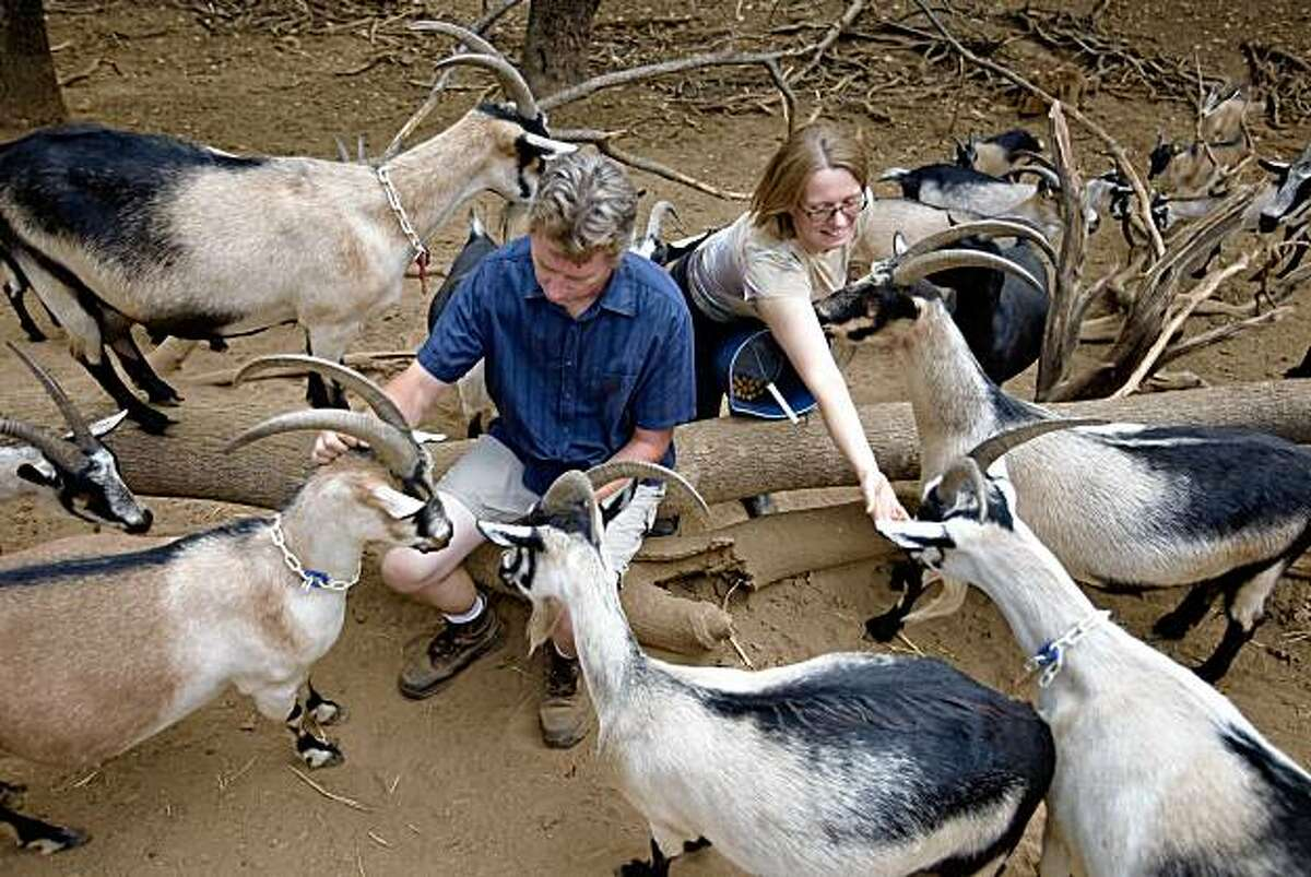 Hank Beckmeyer left, and his wife Caroline Ho'l feed their herd of goats acorns at their La Clarine Farm about 50 miles east of Sacramento, September 19, 2009. La Clarine, located near the small village of Somerset, is a self-sustaining biodynamic farm which produces wine, goat cheese and speciality items like goat milk soap.