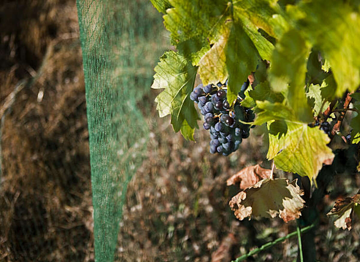 Netting is used to prevent birds from eating the grapes before harvesting at La Clarine Farm about 50 miles east of Sacramento, September 19, 2009. Hank Beckmeyer runs La Clarine with his wife Caroline Ho'l. It is a self-sustaining biodynamic farm which produces wine, goat cheese and speciality items like goat milk soap. Beckmeyer is the wine maker and his wife is the cheese maker.
