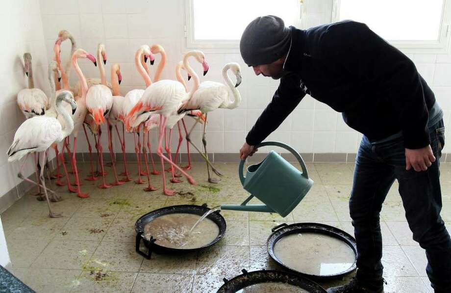 French ornithologist Frederic Lamouroux feeds pink flamingoes of the Camargue region at the Pont du Gau ornithological park near Saintes Maries de la Mer, southern France, Thursday, Feb. 9, 2012. France's Bird Protection League says the cold snap has left some pink flamingoes dead and called on members intervene to save flamingoes suffering from the cold. Photo: Claude Paris, Associated Press / AP