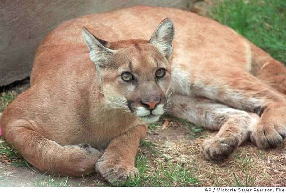 A mountain lion rests in the back yard of a home in Santa Paula, Calif., Wednesday, Sept. 16, 1998. The lion was later shot and killed by a Santa Paula police officer. Mountain lions may be pushing endangered Sierra Nevada bighorn sheep to extinction, and wildlife biologists say they are unable to do anything about it, since trimming the cougar's booming population is prohibited by state law. (AP Photo/Ventura County Star, Victoria Sayer Pearson) CAT  Ran on: 05-02-2008  A cougar resting in the backyard of a home in Santa Paula (Ventura County) was eventually killed by a police officer. Photo: VICTORIA SAYER PEARSON