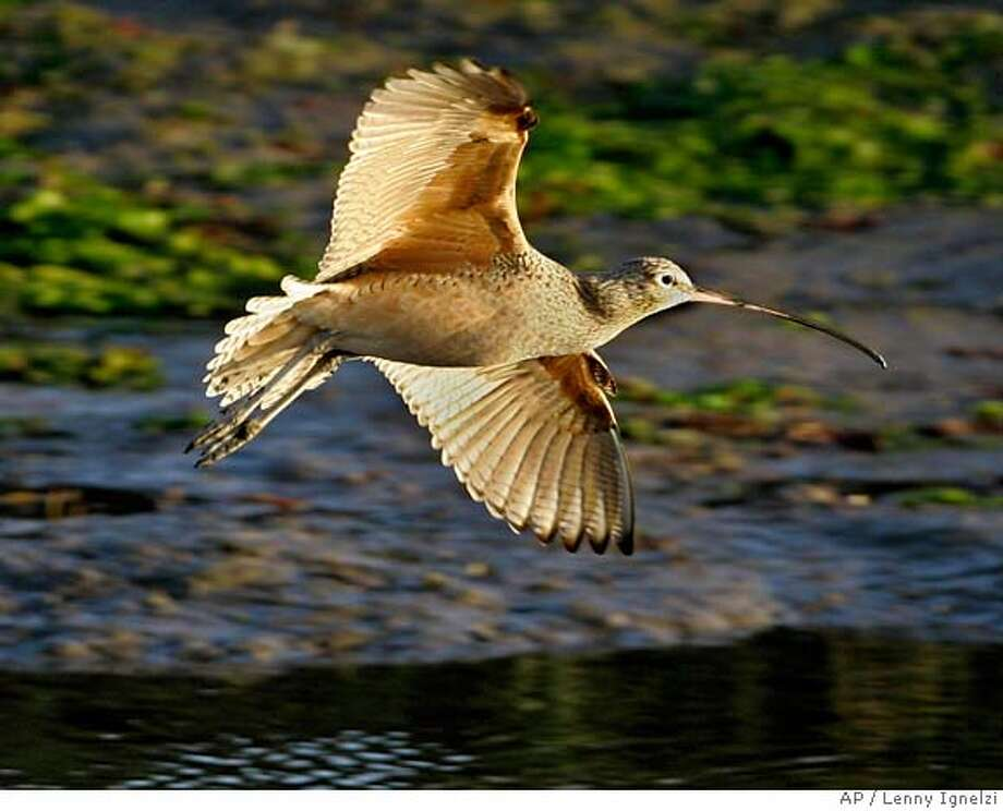 ###Live Caption:A Long-billed Curlew glides above the water in the Tijuana Estuary in a Tuesday Nov. 27, 2007 photo, in Imperial Beach, Calif. The Curlew and other wildlife habitants of the estuary are threaten by the increasing pollution from Tijuana, Mexico. (AP Photo/Lenny Ignelzi)###Caption History:A Long-billed Curlew glides above the water in the Tijuana Estuary in a Tuesday Nov. 27, 2007 photo, in Imperial Beach, Calif. The Curlew and other wildlife habitants of the estuary are threaten by the increasing pollution from Tijuana, Mexico. (AP Photo/Lenny Ignelzi)###Notes:###Special Instructions: Photo: Lenny Ignelzi