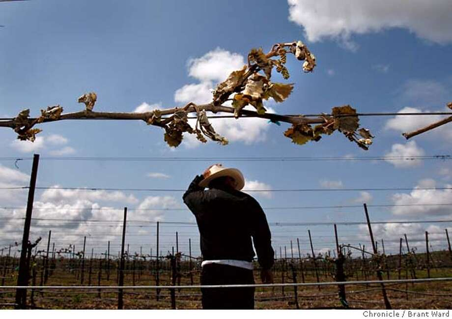 The brown leaves and fruit of Pinot Noir vines are testament to the burn suffered at De La Montanya vineyards. Unusually cold temperatures last weekend wreaked havoc with North Coast vineyards like the De La Montanya vineyards in Petaluma, Calif., visited on Wednesday, April 23, 2008. Photo by Brant Ward / San Francisco Chronicle Photo: Brant Ward