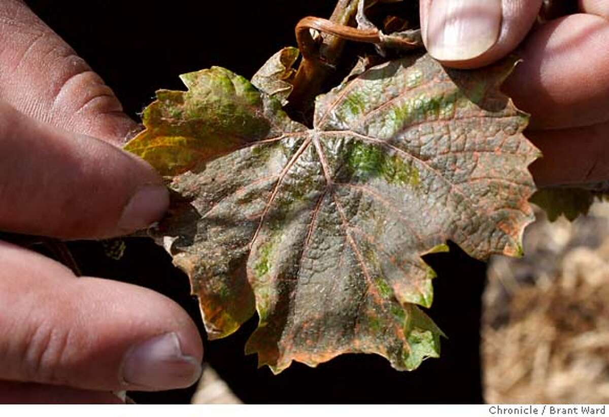 De La Montanya vineyard supervisor Javier Vega examines new Pinot Noir leaves badly burned and turned brown by the last . Unusually cold temperatures last weekend wreaked havoc with North Coast vineyards like the De La Montanya vineyards in Petaluma, Calif., visited on Wednesday, April 23, 2008. Photo by Brant Ward / San Francisco Chronicle
