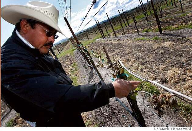 De La Montanya vineyard supervisor Javier Vega sees damage in much of his 50 acres of vines on Petaluma's east side. Unusually cold temperatures last weekend wreaked havoc with North Coast vineyards like the De La Montanya vineyards in Petaluma, Calif., visited on Wednesday, April 23, 2008. Photo by Brant Ward / San Francisco Chronicle Photo: Brant Ward