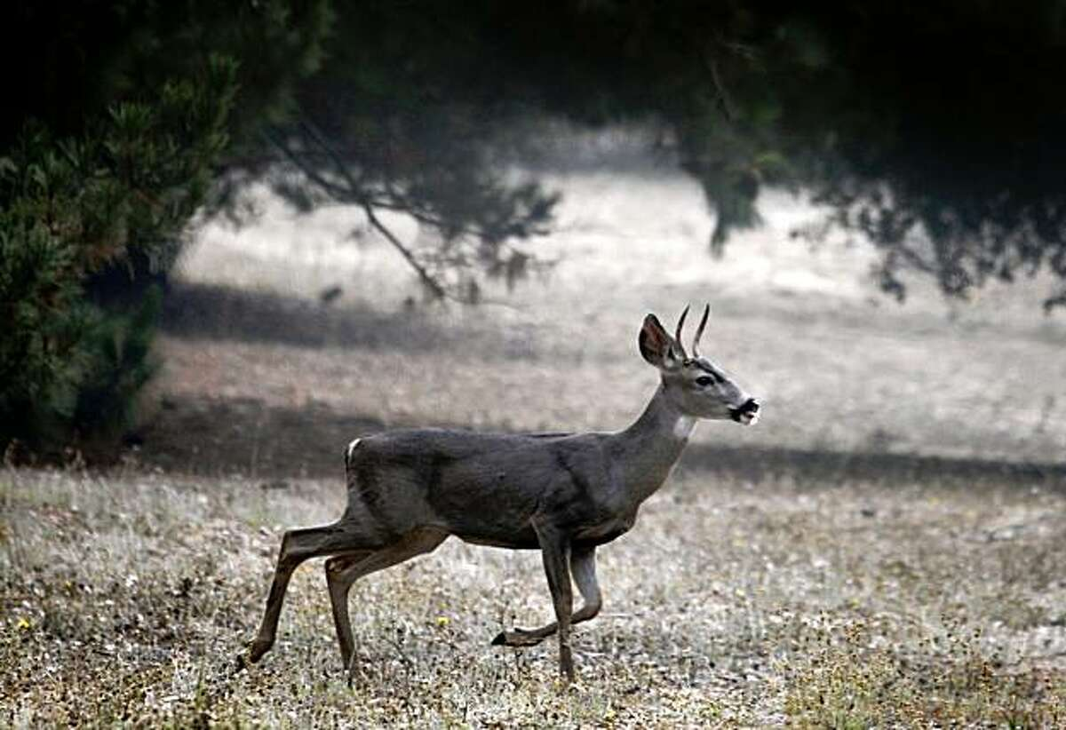 A young deer scampers across Blair Park on Moraga Avenue in Piedmont, Calif., on Friday, Sept. 25, 2009. A group of neighborhood residents are fighting plans for a sports complex on the narrow strip of land citing safety and traffic concerns.