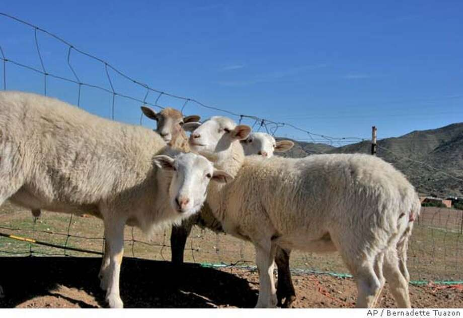 Sheep gather at a pen at Drummond Ranch in Acton, Calif., Tuesday, March 18, 2008. (AP Photo/Bernadette Tuazon) Photo: Bernadette Tuazon