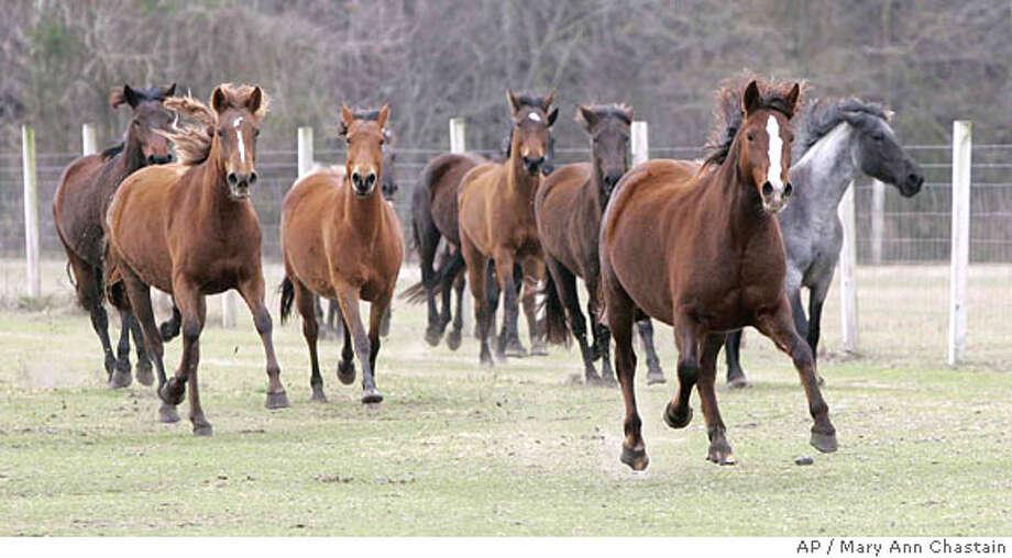 Marsh Tacky horses run free on D.P. Lowther's farm in Ridgeland, S.C. Thursday, Feb. 21, 2008. (AP Photo/Mary Ann Chastain) Photo: Mary Ann Chastain
