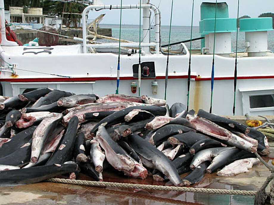 This undated photo provided by the Micronesian Shark Foundation shows sharks from an allegedly illegal Taiwanese fishing vessel busted in Palau on Aug. 5, 2009. The tiny Pacific nation of Palau is creating the world's first shark sanctuary, a biological hotspot to protect Great Hammerheads, Leopard Sharks, Oceanic Whitetip Sharks and more than 130 other species fighting extinction in the Pacific Ocean.  But with only one boat to patrol 240,000 square miles (621,600 square kilometers) of Palau's newly protected waters, including its exclusive economic zone, or EEZ, that extends 200 miles (320 kilometers) from its coastline, enforcement of the new measure could be almost like swimming against the tide. Photo: Micronesian Shark Foundation, AP