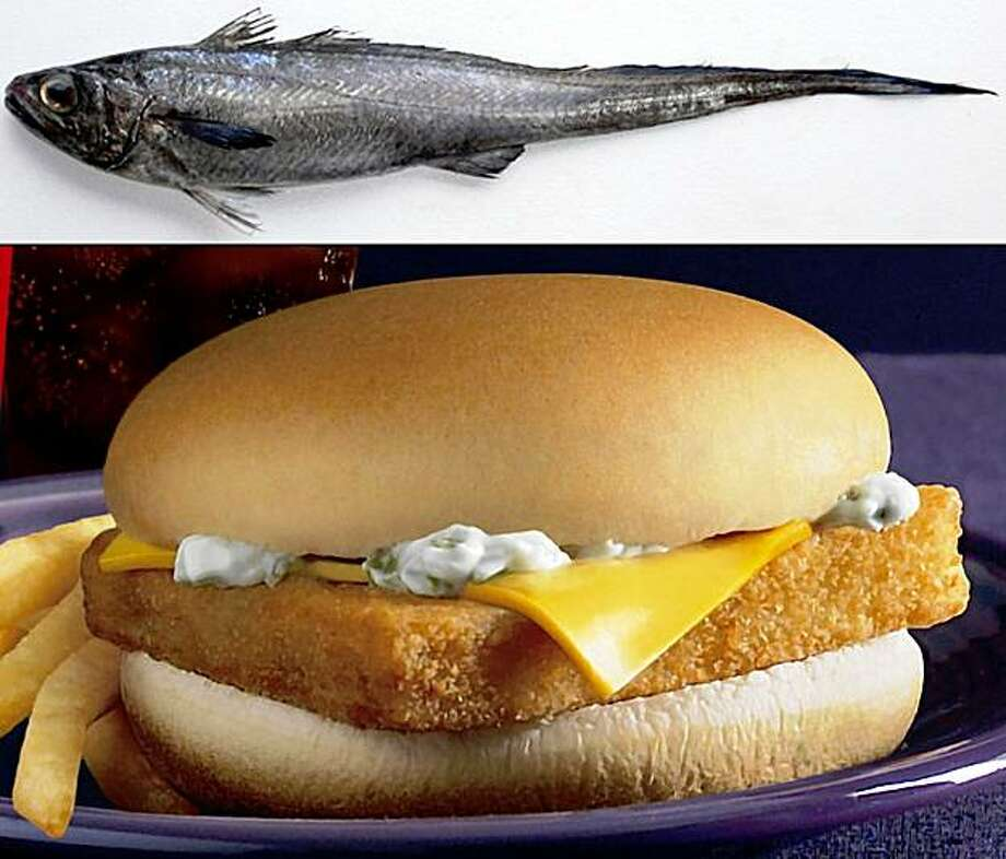 """The worldÕs insatiable appetite for fish, with its disastrous effects on populations of favorites like red snapper, monkfish and tuna, has driven commercial fleets to deeper waters in search of creatures unlikely to star on the Food Network. One of the most popular is the hoki, or whiptail, seen at top, a bug-eyed specimen found far down in the waters around New Zealand, and available in such numbers that McDonaldÕs alone has recently used roughly 15 million pounds of it each year particularly in their """"Filet-O-Fish."""" The hoki fishery was thought to be sustainable, providing New Zealand with a reliable major export for years to come. But that is turning out to be doubtful at best. (Top: New Zealand Seafood Industry Council, Below, McDonald's via The New York Times) EDITORIAL USE ONLY Photo: New Zealand/McDonald's, NYT"""