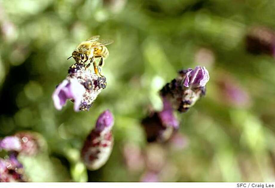 A bee collecting pollen from a lavender flower in the insectory at the Benziger Family Winery in Glen Ellen.Craig Lee / The Chronicle Photo: Craig Lee, SFC