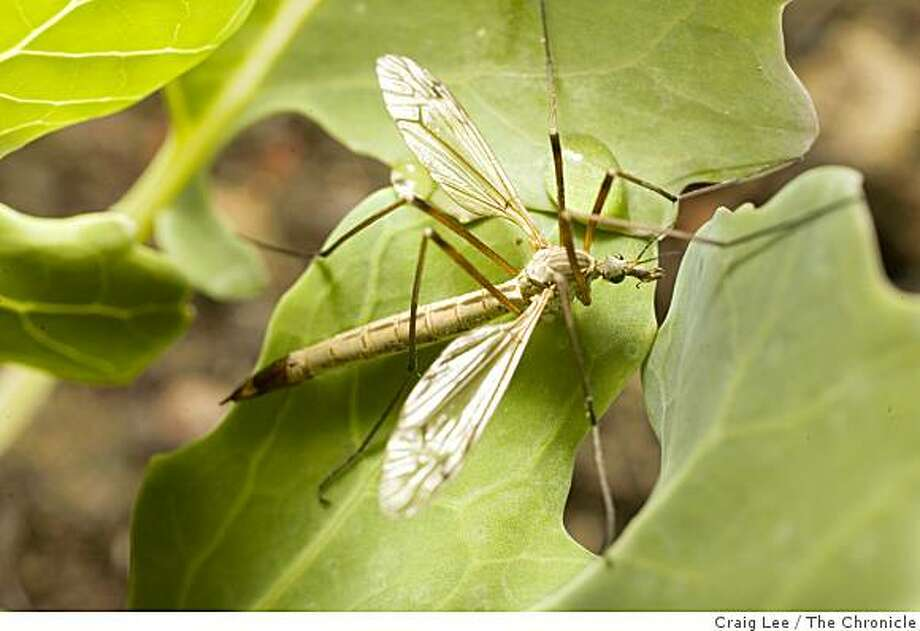Photo of a mosquito eater at the insectory at the Benziger Family Winery in Glen Ellen. Craig Lee / The Chronicle Photo: Craig Lee, The Chronicle