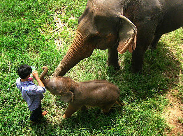 A baby elephant reaches for food from a mahout, or elephant handler, at the Elephant Nature Park in Chiang Mai province, Thailand on August 15, 2008. Photo: Dan Jung, The Chronicle