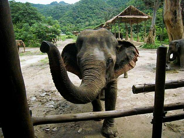 An elephant approaches visitors on an elevated bamboo platform at the Elephant Nature Park in Chiang Mai province, Thailand on August 15, 2008. Photo: Dan Jung, The Chronicle