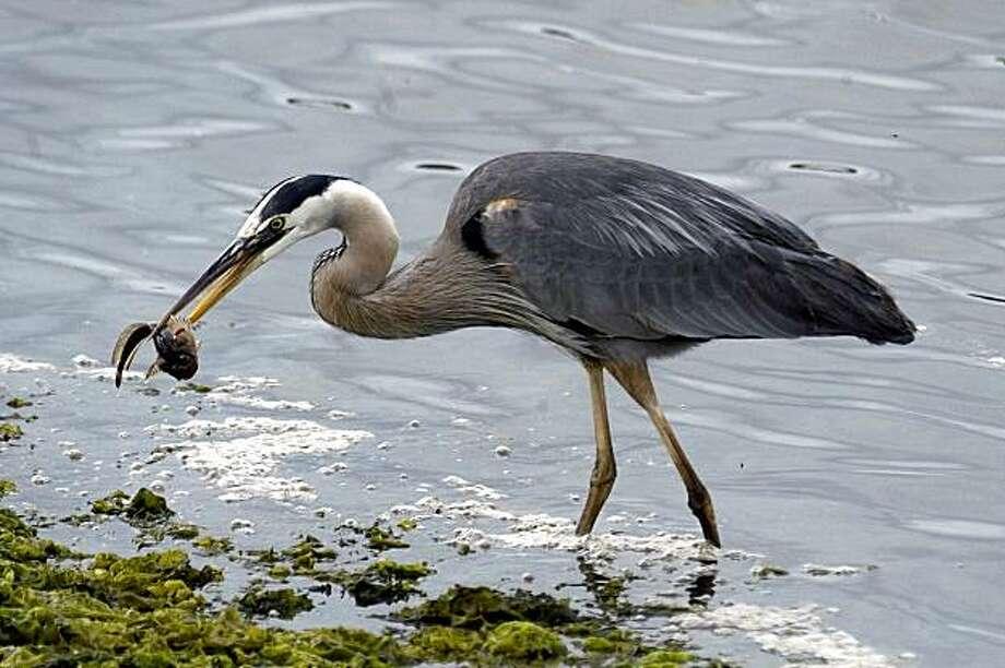 Monterey Bay Birding Festival Photo: Patricia McQuade, Santa Cruz County CVC