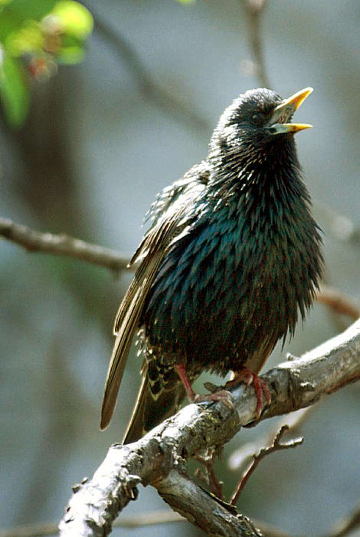 FILE - This undated photo provided by the University of California at San Diego shows an undated photo of a starling. In the early 1890s, about 100 European starlings were released in New York City's Central Park by a group dedicated to bringing to America every bird ever mentioned by Shakespeare. (AP Photo/University of California at San Diego, Daniel Baleckaitis, File)