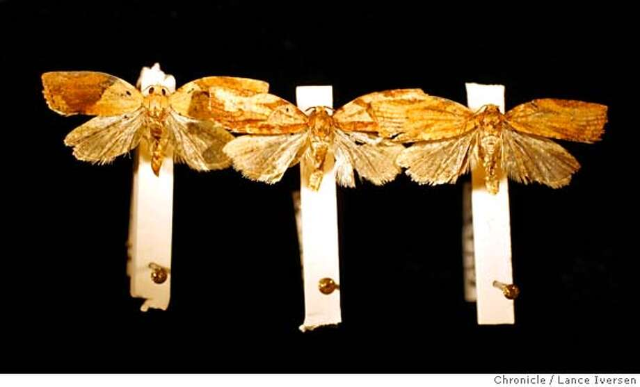LBAM_35161.JPG  Marc Epstein Senior Insect Biosystematist-Specialist for the State of California Department of Food and Agriculture displays Light Brown Apple Moths trapped recently in Northern California that very in color with variations in wing patterns at the State lab in Sacramento. (MAY 31) (cq, SUBJECT) Lance Iversen / The Chronicle Photo taken on 5/31/07,SACRAMENTO, CA. MANDATORY CREDIT PHOTOG AND SAN FRANCISCO CHRONICLE/NO SALES MAGS OUT Photo: By Lance Iversen
