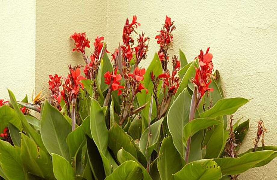 Ailing canna lilies? Divide to conquer - SFGate