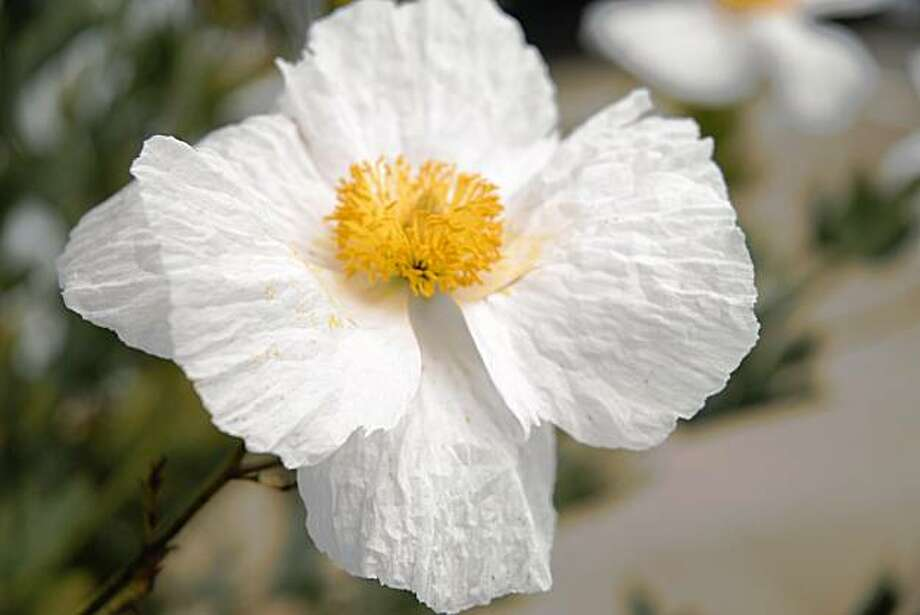 The huge flowers of matilija poppy remind some of fried eggs. Photo: Pam Peirce