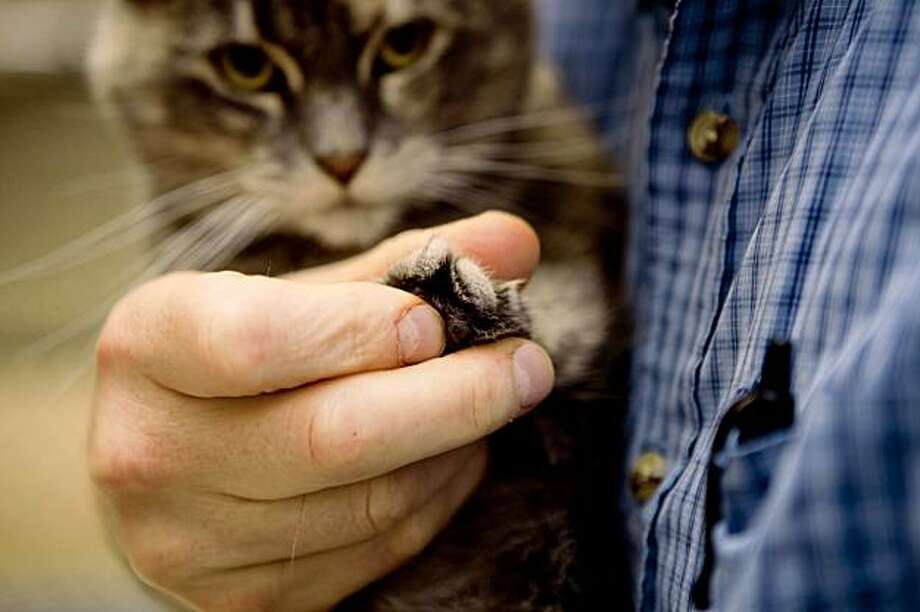 In the arms of Animal Care Supervisor Eric Zuercher, Sadie, a declawed three year old cat, shows its declawed front paw while waiting for adoption at the San Francisco Animal Care and Control Shelter in San Francisco, Calif. on Friday, Sept. 4, 2009. San Francisco supervisor Ross Mirkarimi had recently proposed a legistation in banning declawing in the city after the City's Animal Care and Welfare Commission voted 5-1 in recommending the ban. Declawing, also known as onychectomy, according to The Human Society of the United States, is a surgical procedure often done by amputating the last bone of each toe for reasons ranging from people's fears of being scratched and preventing cats from damaging household items. Photo: Stephen Lam, The Chronicle