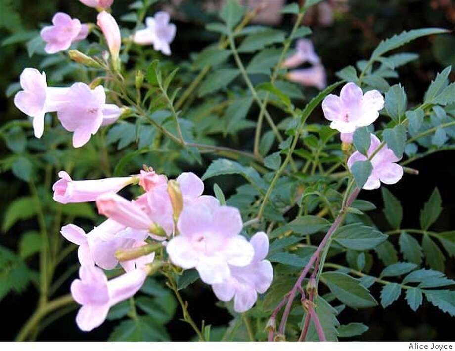 ###Live Caption:for pick16. Common name: Himalayan or summer gloxinia. Genus/species: Incarvillea arguta (synonym Amphicome arguta)###Caption History:for pick16. Common name: Himalayan or summer gloxinia. Genus/species: Incarvillea arguta (synonym Amphicome arguta)###Notes:###Special Instructions: Photo: Alice Joyce
