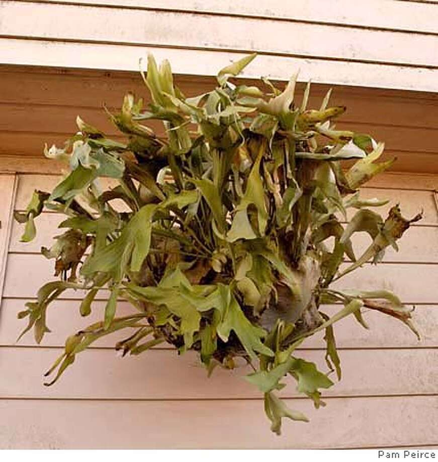 ###Live Caption:The author's staghorn fern has grown to nearly 5 feet across###Caption History:The author's staghorn fern has grown to nearly 5 feet across###Notes:###Special Instructions: Photo: Pam Peirce