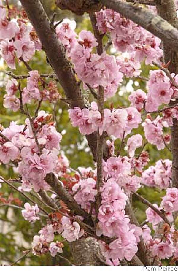 ###Live Caption:The beautiful double pink flowers of Kwansan cherry are ornamental only, no fruit follows or Kwansan ornamental cherry has pink pompoms for flowers.###Caption History:The beautiful double pink flowers of Kwansan cherry are ornamental only, no fruit follows or Kwansan ornamental cherry has pink pompoms for flowers.###Notes:###Special Instructions: Photo: Pam Peirce