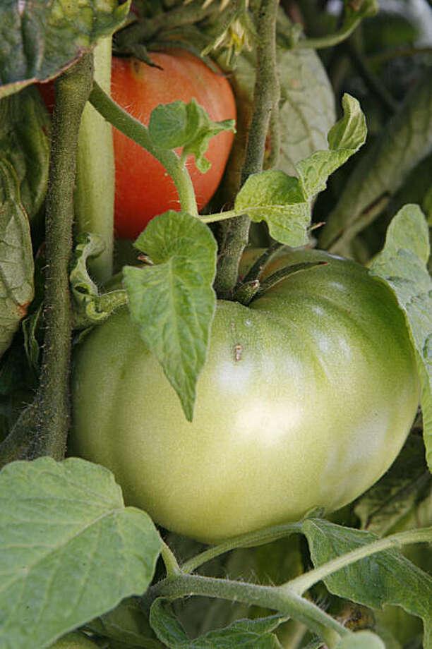 Brandywine heirloom tomatoes. Photo: Kat Wade, The Chronicle