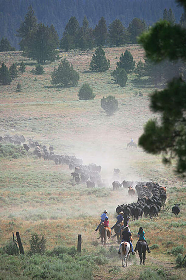 Ranch guests participate in cattle drive Photo: Courtesy, Aspen Ridge Resort
