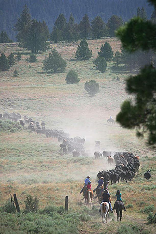 Ranch guests participate in cattle drive Photo: Courtesy, Aspen Ridge Resort