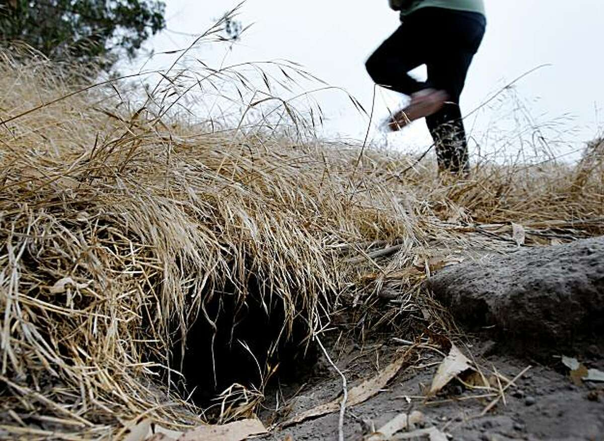 The badgers dig large burrows which are inhabited by skunks or fox once they move out. Neighbors in Petaluma, CA have succeeded in protecting open space habitat for a colony of badgers. The shy, rare, ill tempered critters live on Paula Lane on the west side of town.