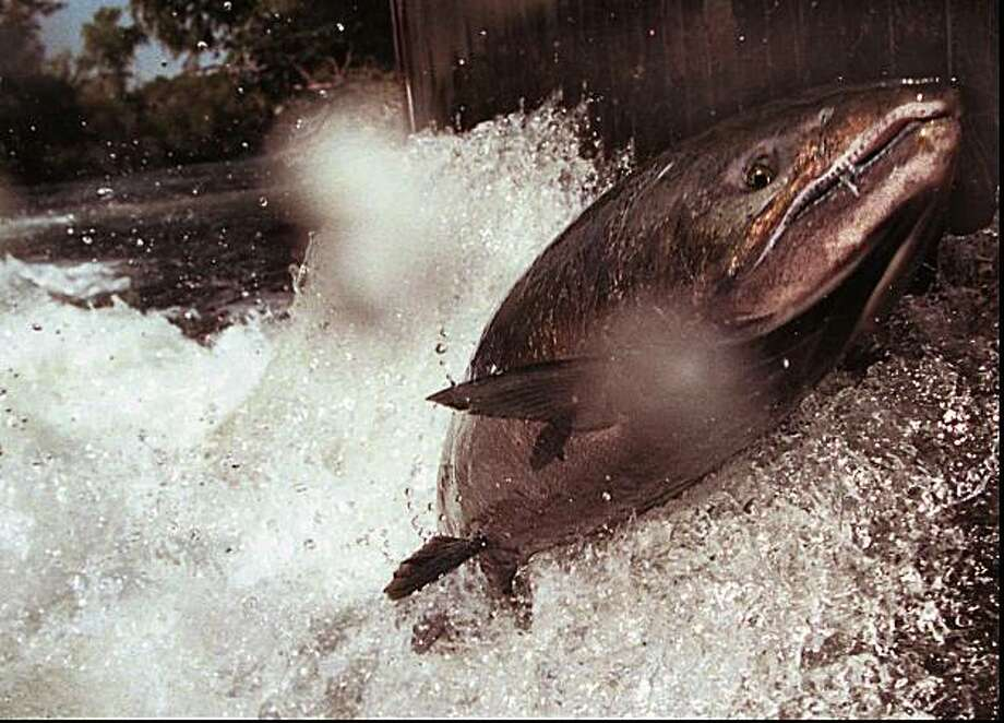 A fall run chinook salmon jumps against a grate at a fish hatchery near Anderson, Photo: Rollin Banderob, File, AP