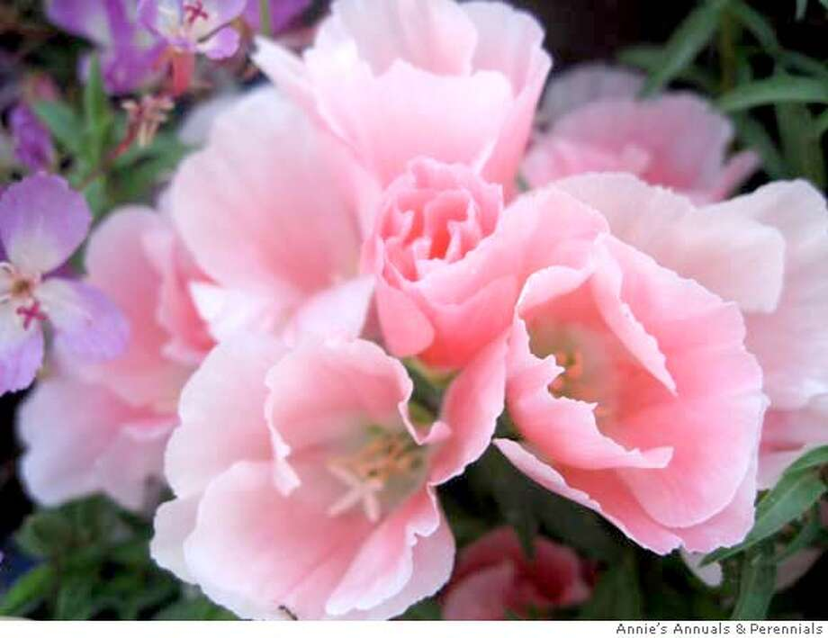 ###Live Caption:Clarkia amoena aurora###Caption History:Clarkia amoena aurora###Notes:###Special Instructions: Photo: Handout
