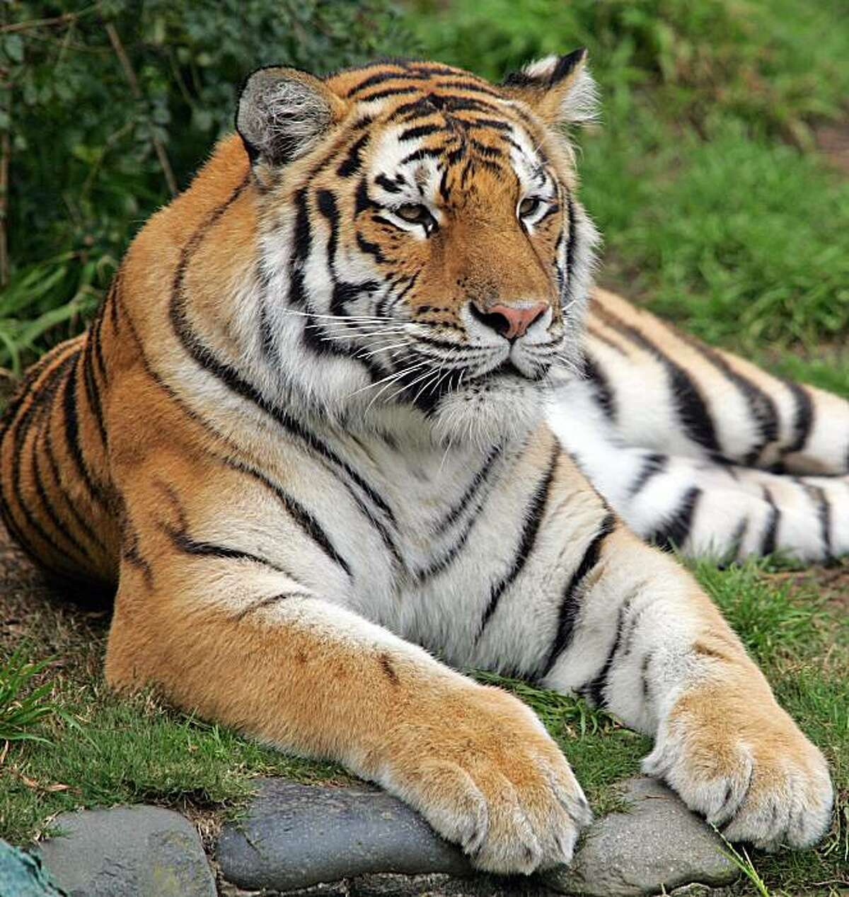* FILE ** This undated file photo provided by the San Francisco Zoo shows Tatiana, a female Siberian tiger. Tatiana, the tiger that mauled a zookeeper last year escaped from its pen at the San Francisco Zoo on Tuesday Dec. 25, 2007, killing one man and injuring two others before police shot it dead, authorities said. (AP Photo/San Francisco Zoo, File)
