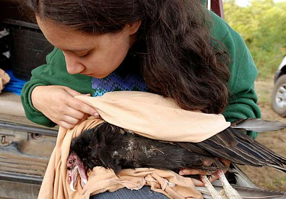in this photo taken on Friday, Aug. 7, 2009, Yurok Tribe wildlife biotechnician Tiana Williams holds a turkey vulture in the hills above Orick, Calif., where it was trapped as part of the tribe's efforts to determine if the Klamath River canyon would be suitable habitat for condors. Lead poisoning is the leading cause of death in condors in the wild, and the tribe is taking blood samples to see if the turkey vultures are feeding on carcasses shot by lead bullets. The tribe's culture is based on the idea of regularly trying to fix what is wrong with the world, and bringing back the condor is part of that belief. (AP Photo/Jeff Barnard) Photo: Jeff Barnard, AP